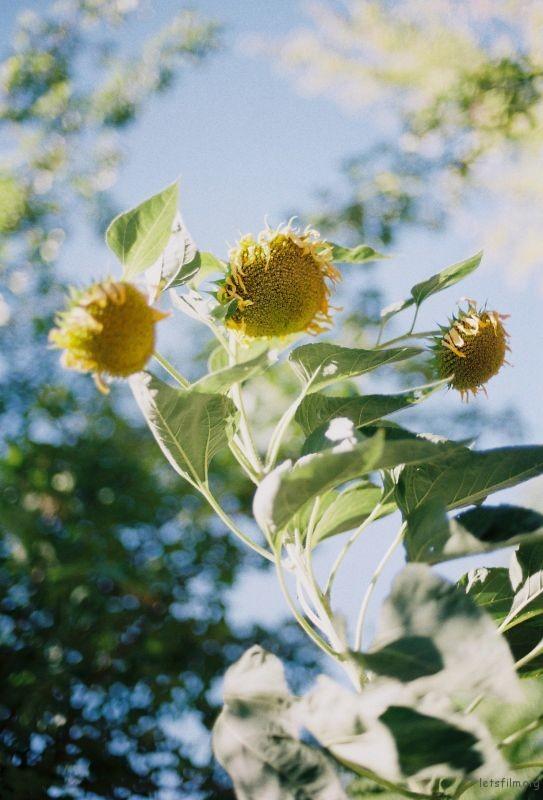 风中摇曳的向日葵