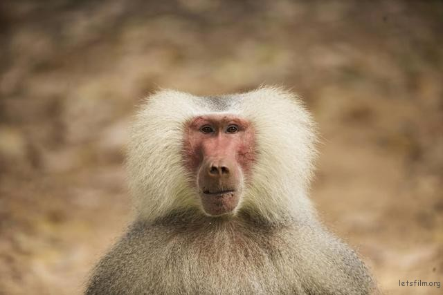 A male baboon is seen at the Safari Zoo in Ramat Gan, near Tel Aviv