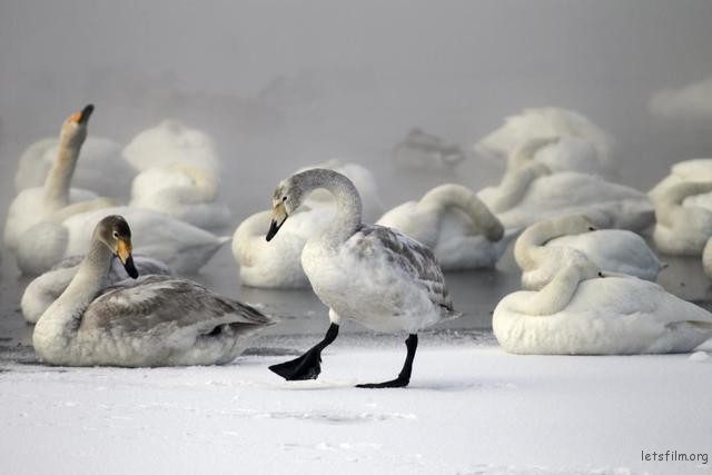 Swans gather on a partially ice-covered lake as steam ascends above the water near the village of Urozhainy, Sovetsky district of Altai region