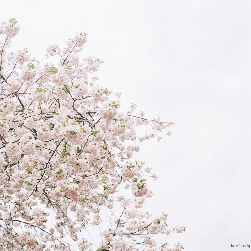 新宿御苑里的樱花