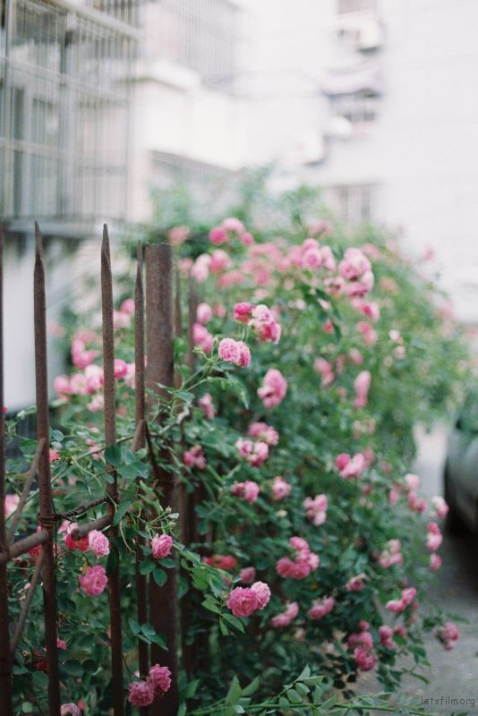 蔷薇 (1)