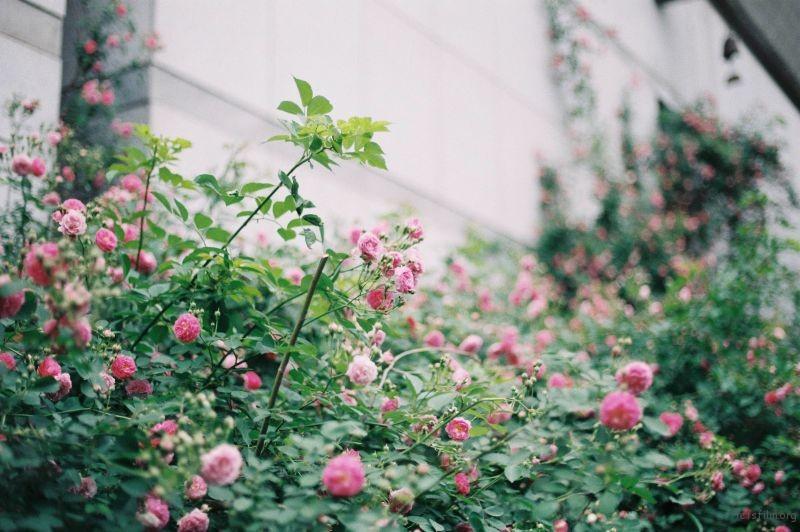 蔷薇 (2)
