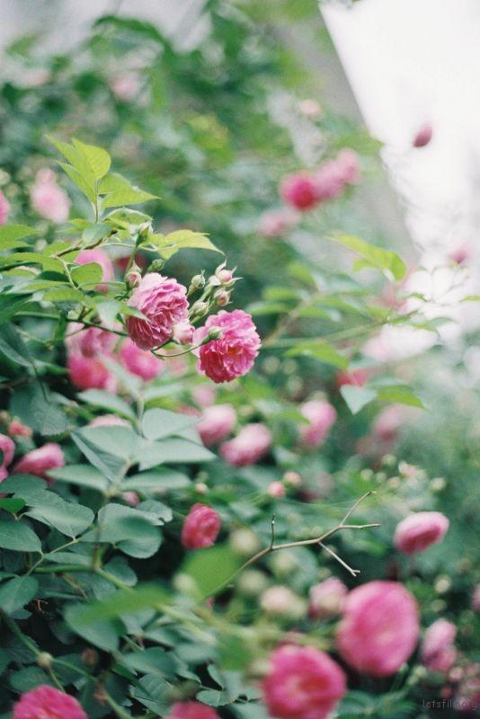 蔷薇 (3)
