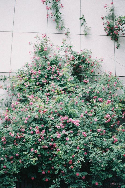 蔷薇 (4)