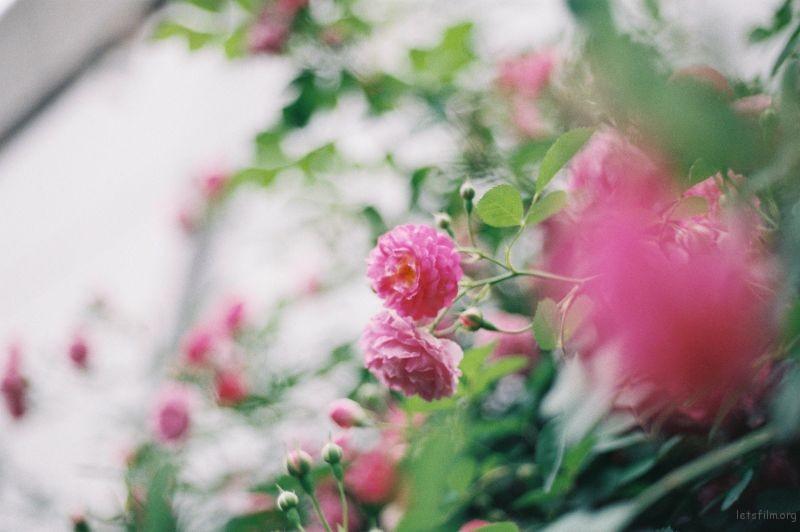 蔷薇 (5)