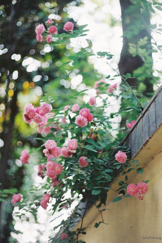 蔷薇 (6)