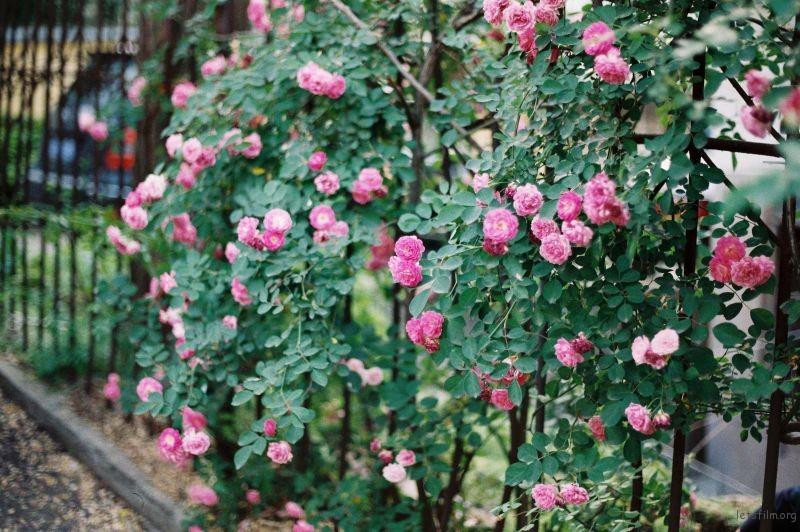 蔷薇 (7)
