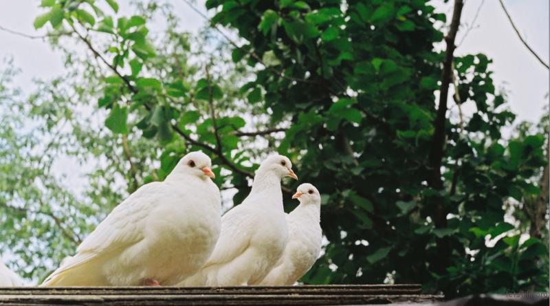 中山植物园鸽子