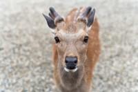 [8368] 下雨的奈良遇到温情鹿与傲娇鹿