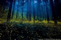仲夏夜之梦,日本摄影师镜头中的萤火虫季