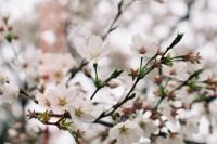 [8870] 桜唄