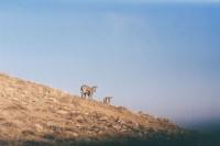 [9357] 羊羊羊 贺兰山岩羊