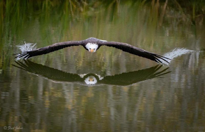 雄鹰从湖面掠过