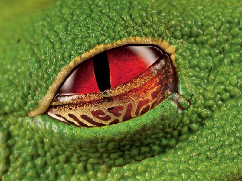 哥斯达黎加树蛙的腥红眼睛