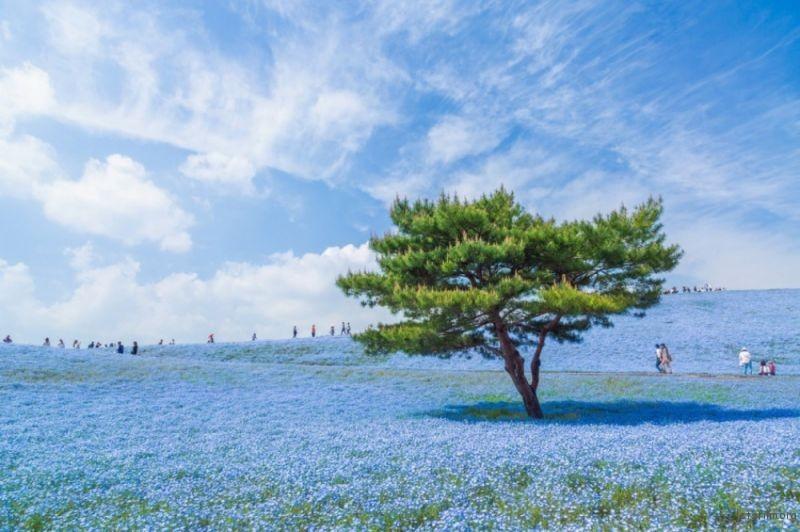 日出海滨公园,450万朵粉蝶花的蓝色宇宙