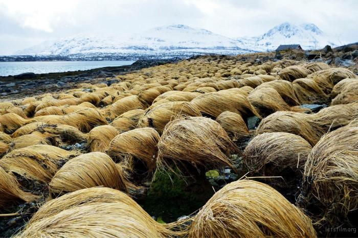 donald-trump-hair-growing-prairie-dropseed-tromso-norway-6