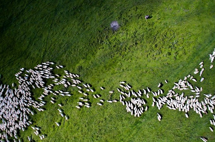 Swarm of sheep, Romania by Thedon
