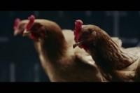 别买稳定器了,养只鸡就够了