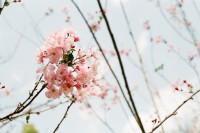 [12427] 樱与棠