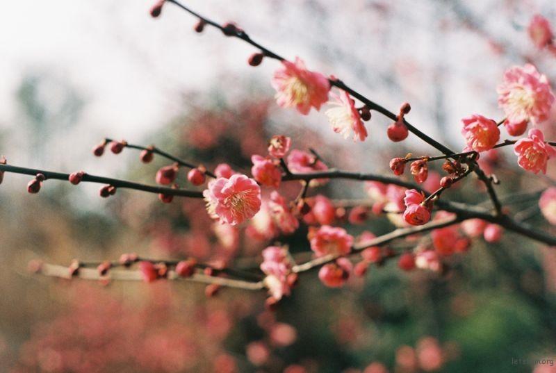 [ 胶 片 ] 曉風 · 梅花 6-1
