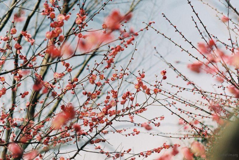 [ 胶 片 ] 曉風 · 梅花 9-1