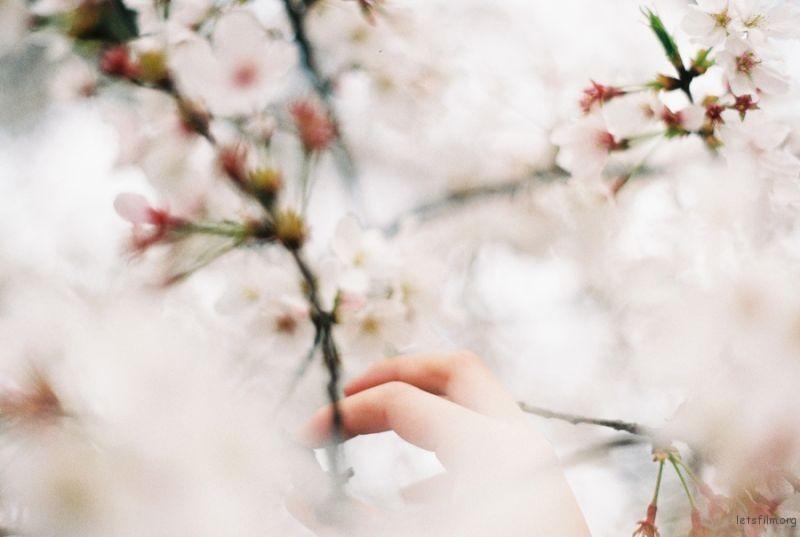 [ 胶 片 ] 桜色 · 咲く 1-1
