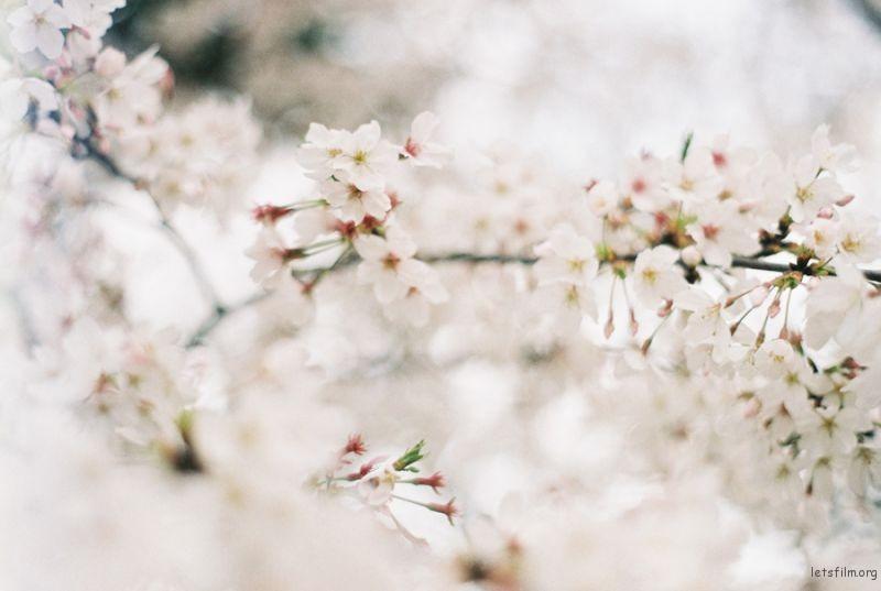 [ 胶 片 ] 桜色 · 咲く 4-1