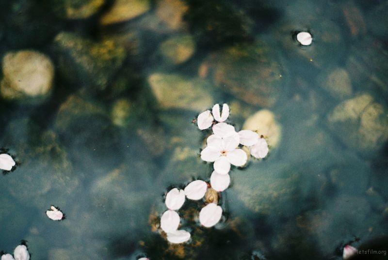 [ 胶 片 ] 桜色 · 咲く 6-1