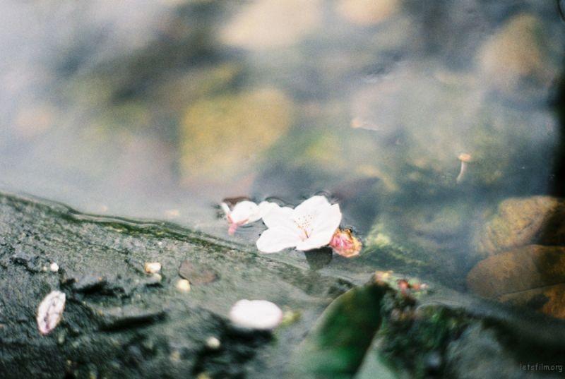 [ 胶 片 ] 桜色 · 咲く 7-1