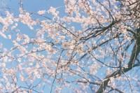 [12678] 双榆树春天