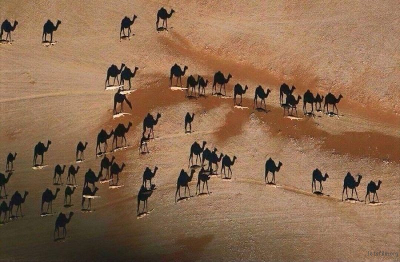"""Shadows of Camels Walking In The Dessert at Sunset"" by George Steinmetz"
