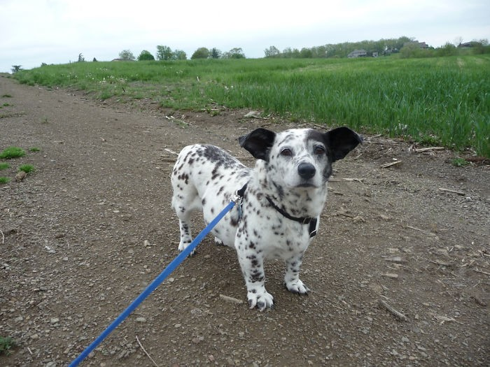 柯基 + 斑点狗