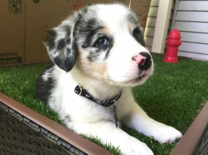 柯基 + 澳洲牧羊犬