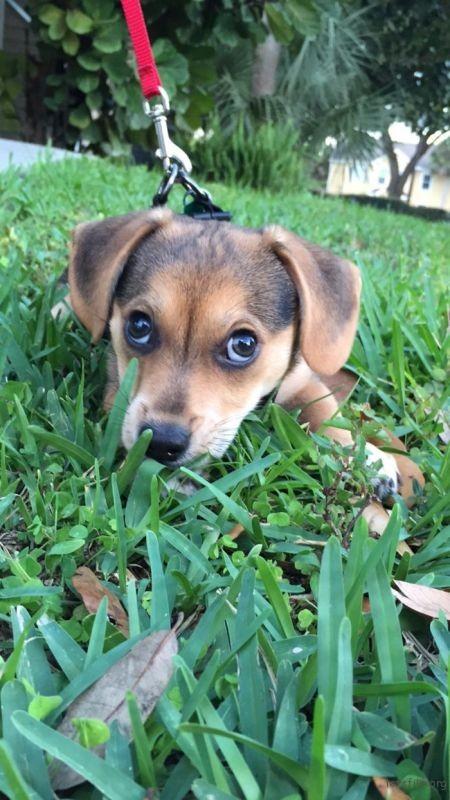 柯基 + 小猎犬