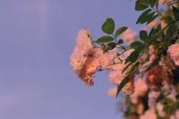[13509] 爬篱笆的蔷薇