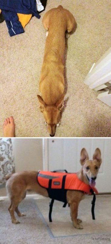 柯基 + 格雷伊猎犬