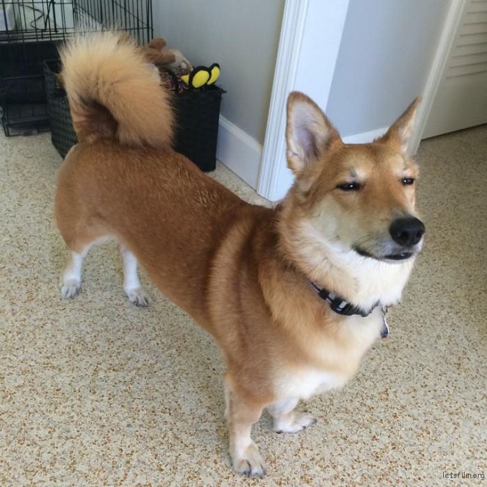 柯基 + 柴犬
