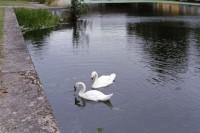 [15382] 英国的白天鹅与小松鼠