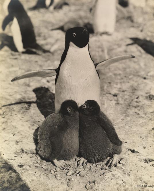 企鹅和它的两个企鹅宝宝