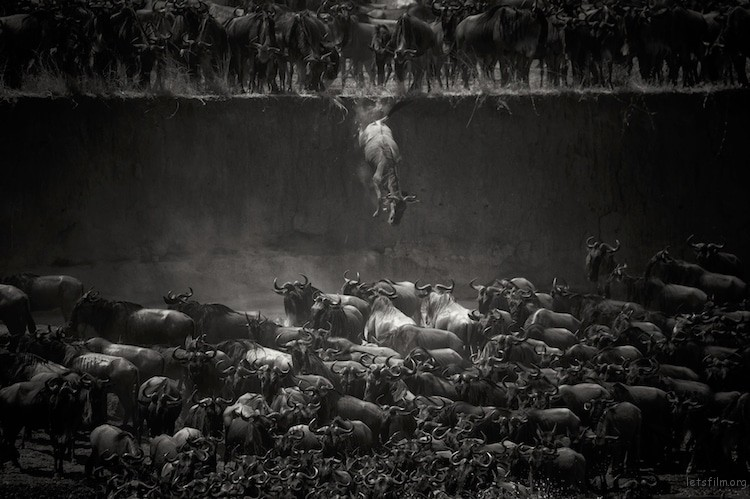 """Leap of Faith (Jump of the Wildebeest)"" by Nicole Cambre. 自然和野生组第一名"