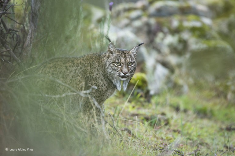 Glimpse of a lynx,©Laura Albiac