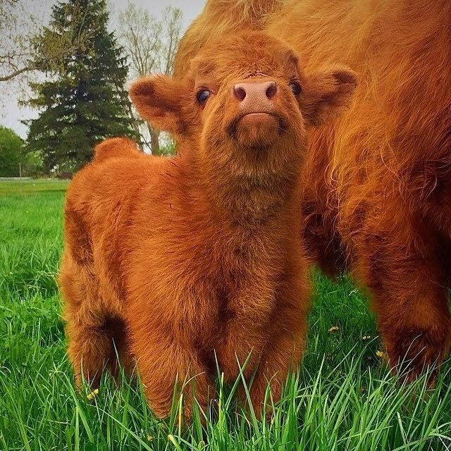 highland-cattle-calves-14