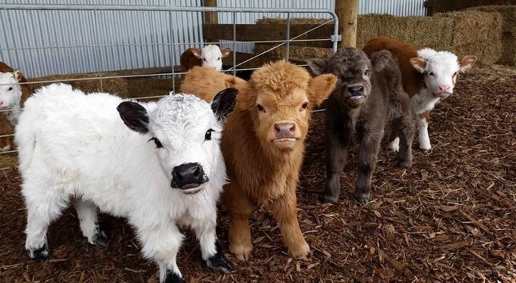 highland-cattle-calves-15