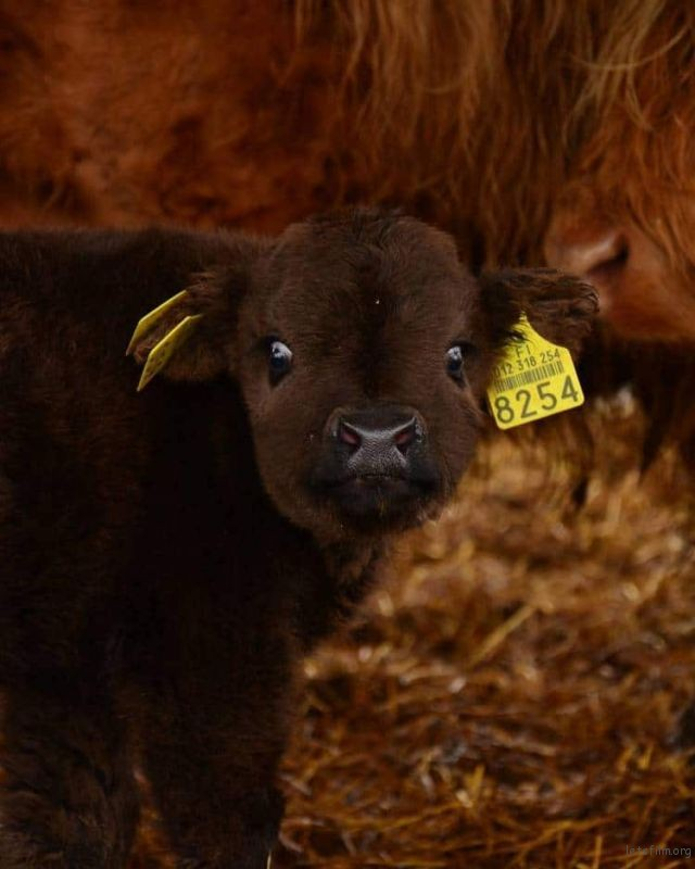 highland-cattle-calves-16