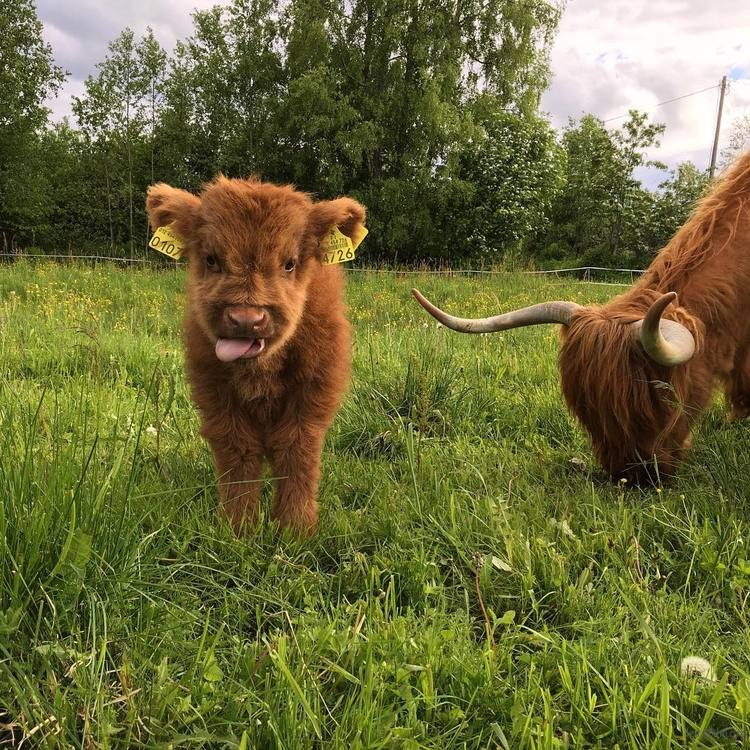 highland-cattle-calves-20