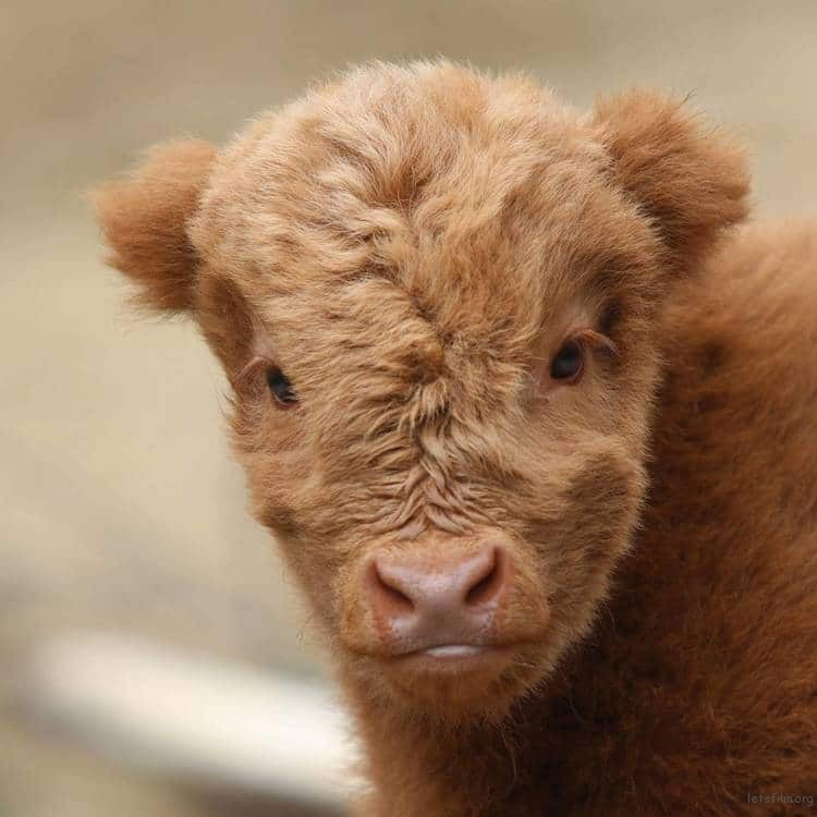 highland-cattle-calves-22