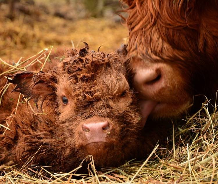 highland-cattle-calves-4