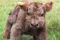 瞧这些可爱的小牛犊子