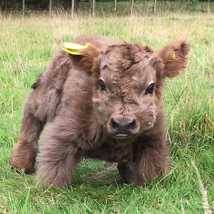 highland-cattle-calves-6