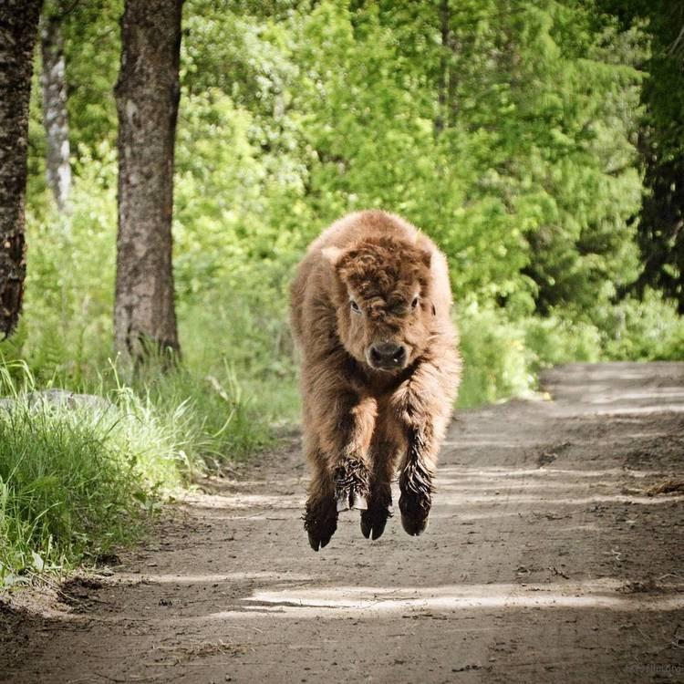 highland-cattle-calves-9
